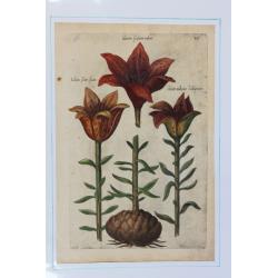 Lilium (Lys) - 1612 -...