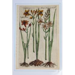 Liliosphodel, Phalangium  -...