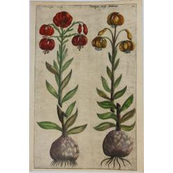 Martagon (Lys)  - 1612 -...
