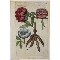 Peonia (Pivoine)  - 1612 -...