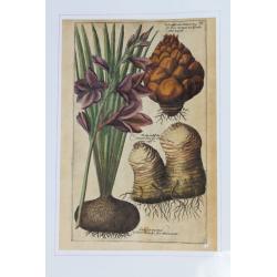 Gladiolus maximus, Bulba...