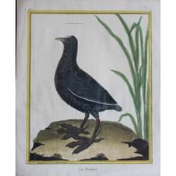Oiseau -  LE FOULQUE N°197